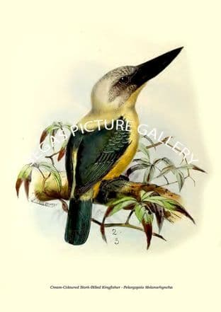Cream-Coloured Stork-Billed Kingfisher - Pelargopsis Melanorhyncha