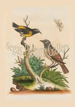 Creeper, Black And Yellow. American Hedge-Sparrow