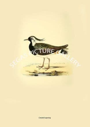 Crested Lapwing