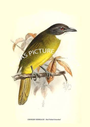 Fine art print of the CRINIGER VERREAUXI - Red-Tailed Greenbul by Richard Bowdler Sharpe (1881)