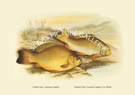 Fine art print of the Crucian Carp - Carassius Vulgaris, Prussian Carp - Carassius Vulgaris, Var. Gibelio by the Artist Alexander Francis Lydon (1879)