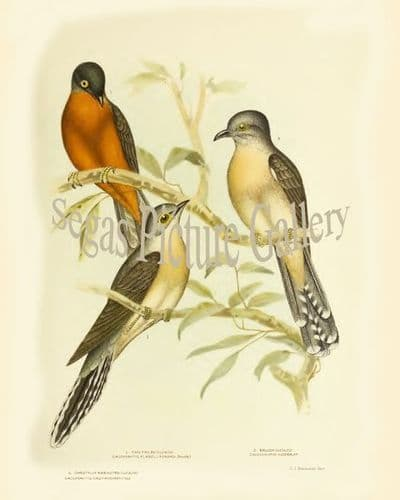 Cuckoo, Fan-Tailed (Cacomantis Flabelliformis)