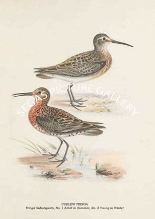 CURLEW TRINGA - Tringa Subarquata, No. 1 Adult in Summer, No. 2 Young in Winter