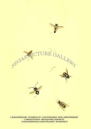 CYLINDRICAL FLY - LONG HORNED BEE - SPECKLED-WING. STINGING FLY -  MUSCA BOMBYLANS - TRILINEATED FLY