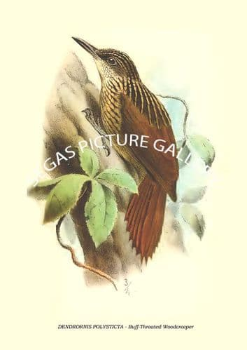 DENDRORNIS POLYSTICTA - Buff-Throated Woodcreeper