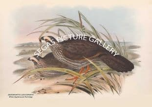 DENDRORTYX LEUCOPHRYS - White-Eyebrowed Partridge