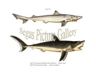 Dogfish, Mackerel Shark/Portbeagle