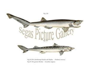 Dogfish, Spiny Cinercus Shark