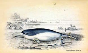Dolphin without dorsal fin