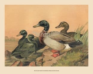 Ducks, Rouen and Buenos Ayres; by Harrison Weir