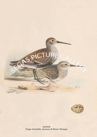 DUNLIN - Tringa Variabilis, Summer & Winter Plumage