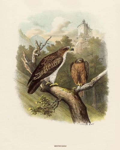Eagle, Booted by O V Riesenthal