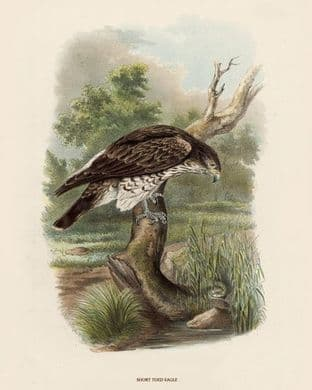 Eagle, Short Toed by O V Riesenthal