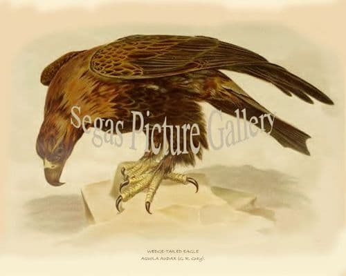Eagle, Wedge-Tailed (Aquila Audax)