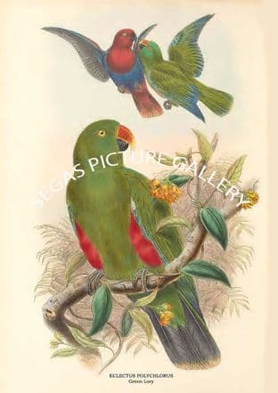 ECLECTUS POLYCHLORUS - Green Lory