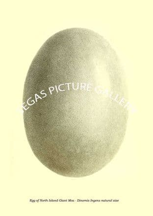 Egg of North Island Giant Moa - Dinornis Ingens natural size