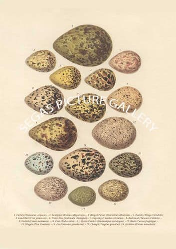 Fine art print of the EGGS by Cassell (1860)