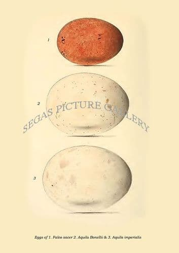 Fine art print of the Eggs of 1. Falco Sacer 2. Aquila Bonellii & 3. Aquila Imperialis by Philip Lutley Sclater (1859 to 1862) reproduced by Segas Picture Gallery.<br />Open Edition