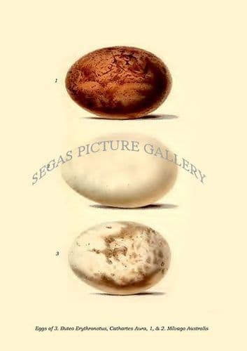 Fine art print of the Eggs Of Buteo Erythronotus, Cathartes Aiira, and Milvago Australis by Philip Lutley Sclater (1859 to 1862) reproduced by Segas Picture Gallery.<br />Open Edition