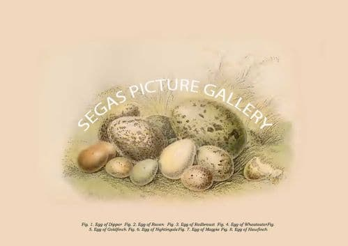 Eggs of Dipper - Raven - Redbreast - Wheateater - Goldfinch - Nightingale - Magpie - Hawfinch