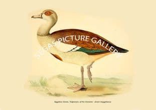 Egyptian Goose, Vulpanser, of the Ancients - Anser Aegyptiacus