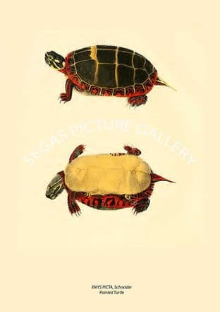 EMYS PICTA, Schneider Painted Turtle
