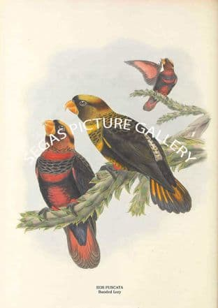 EOS FUSCATA - Banded Lory