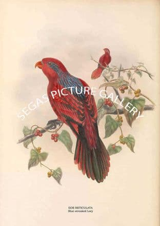 EOS RETICULATA - Blue-streaked Lory