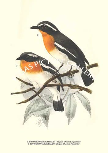 Fine art print of the ERYTHROMYIAS DUMETORIA - Rufous-Chested Flycatcher, ERYTHROMYIAS MUELLERI - Rufous-Chested Flycatcher by Richard Bowdler Sharpe (1879)
