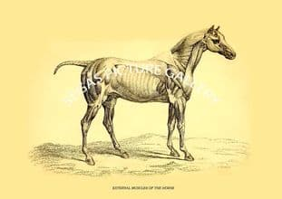 EXTERNAL MUSCLES OF THE HORSE