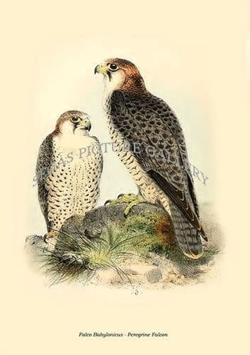 Fine art print of the Falco Babylonicus - Peregrine Falcon by Philip Lutley Sclater (1859 to 1862) reproduced by Segas Picture Gallery.<br />Open Edition