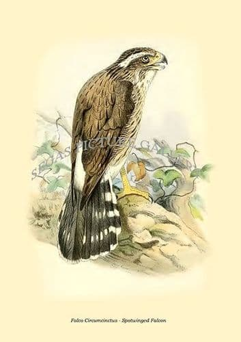 Fine art print of the Falco Circumcinctus - Spotwinged Falcon by Philip Lutley Sclater (1859 to 1862) reproduced by Segas Picture Gallery.<br />Open Edition