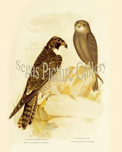 Falcon, Black-Cheeked (Falco Melanogenys)