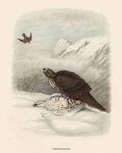 Falcon, Norwegian by O V Riesenthal