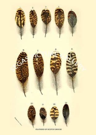 FEATHERS OF SCOTCH-GROUSE