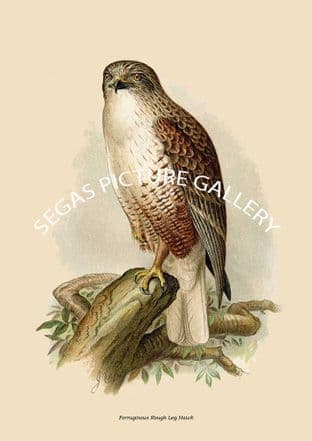 Ferruginous Rough Leg Hawk
