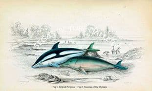 Fig 1. Striped Porpoise Fig 2. Funenas of the Chilians