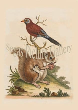 Finch, Red And Blue Brasilian. Flying Squirrel