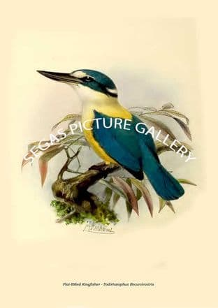 Flat-Billed Kingfisher - Todirhamphus Recurvirostris