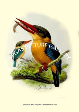 Flores Stork-Billed Kingfisher - Pelargopsis Floresiana