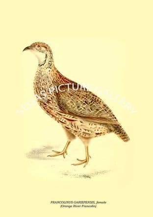 FRANCOLINUS GARIEPENSIS, female - Orange River Francolin