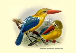 Fraser's Stork-Billed Kingfisher - Pelargopsis Fraseri