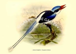 Galatea Kingfisher - Tanysiptera Galatea