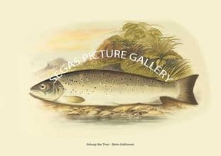 Galway Sea Trout - Salmo Gallivensis