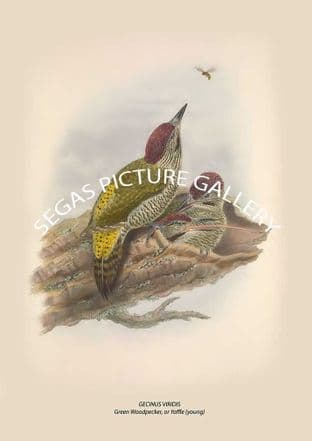 GECINUS VIRIDIS Green Woodpecker, or Yaffle (young)