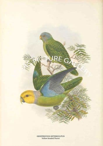 GEOFFROYIUS HETEROCLITUS - Yellow-headed Parrot