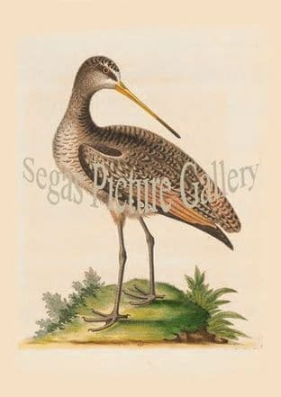 Godwit, Greater American
