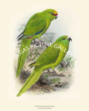 Golden Fronted and Antipodes Island Parakeet