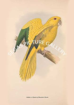 Golden, or Queen of Bavaria's Parrot