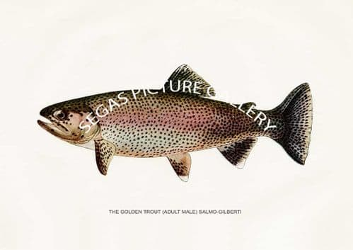 Fine art print of the Golden Trout (Adult Male) Salmo-Gilberti by H H Leonard (1914)